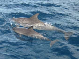 Pantropical Spotted Dolphin with Baby