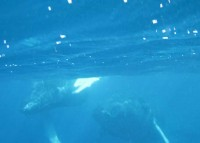 Swimming With Humpback Whales On The Silver Bank